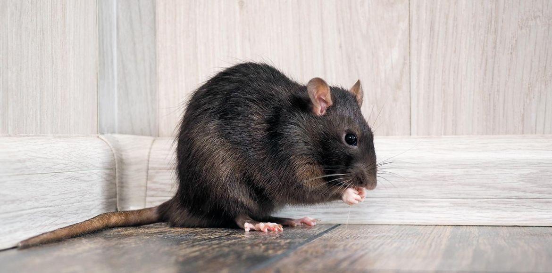 Patiblog: Öreg patkányok ápolása, Patkány fogyás