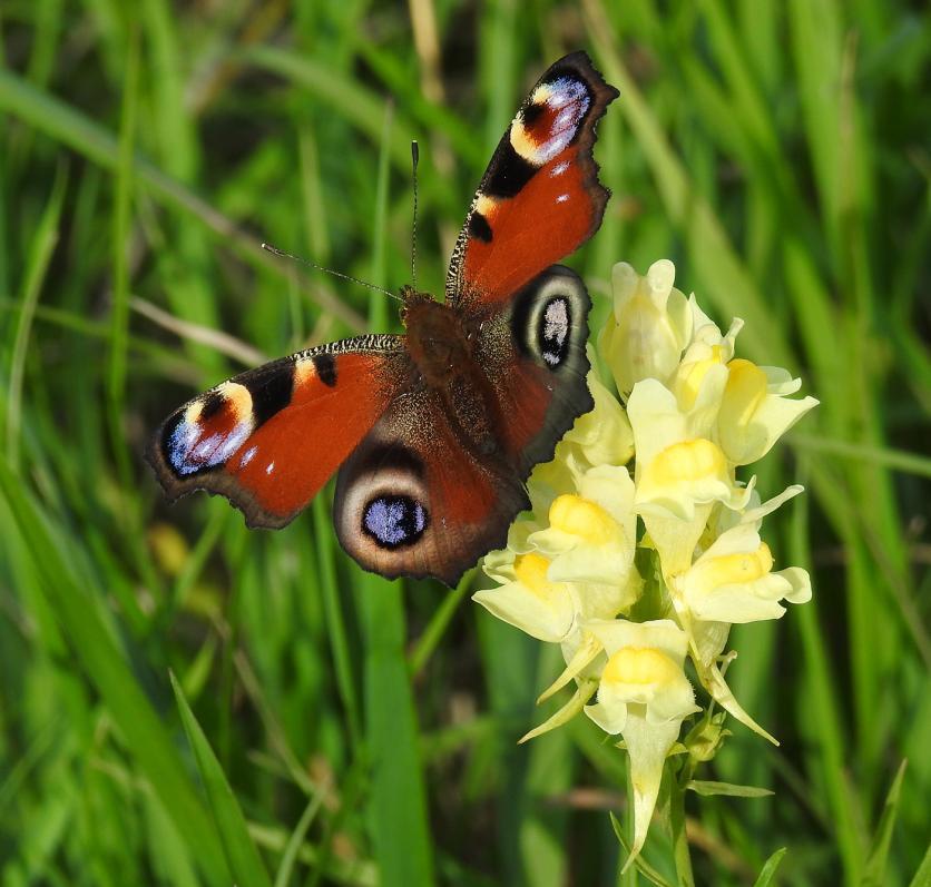 Pávaszem pillangó