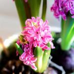 hagymás virág