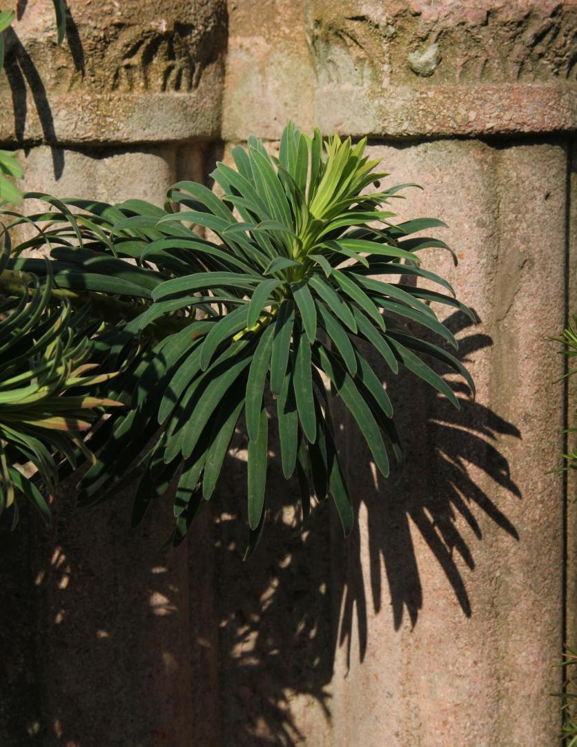 növény, mediterrán, leander