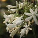 nyár, fehér, szerelemvirág