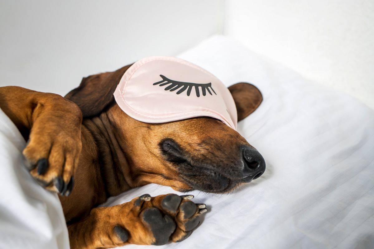 kutya, ágy , házi kedvenc, tacskó