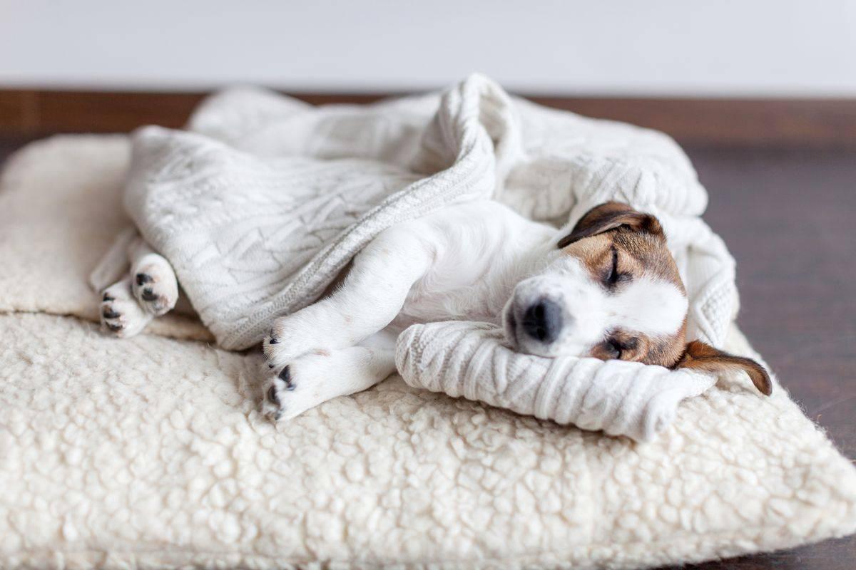 kutya, ágy , házi kedvenc, foxi